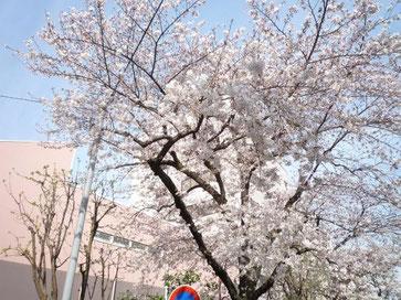 裏の公園の桜の画像
