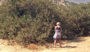 OLEANDER HAUS  Nerium Oleander Wild Oleander Naxos