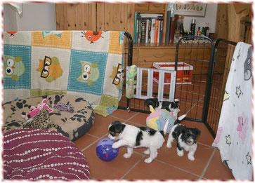 drei Biewer-Yorkshire Welpen spielen im Wohnzimmer beim Biewer Yorkshire Züchter in Mering nahe Augsburg