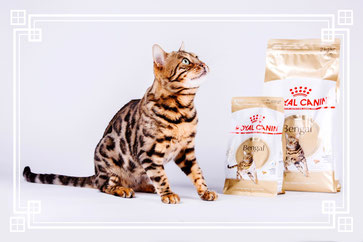 Alimentation Bengal - Elevage Tribal Bengal - Royal Canin
