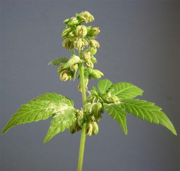 fleur cannabis male