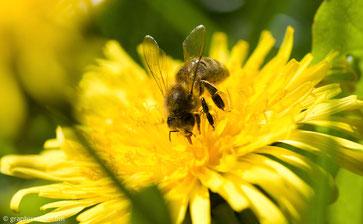 Propolis der Bienen: Wirksame Waffe gegen Bakterien, Viren und Pilze in der Zahnarztpraxis Dr. Steffen Balz in Backnang