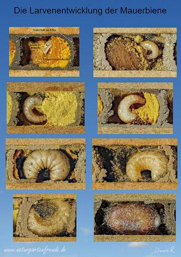 Mauerbiene Osmia Wildbiene Nistplatz wild bee mason bee solitary bee Schautafel Poster Kokon chrysalis cocoon Brutzelle Beobachtungsnistkasten Nutbrettchen Bienenbrettchen Nistbrettchen