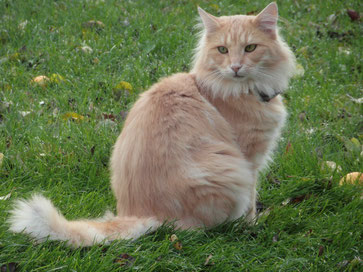 Ramses vom Bergwald, Norwegische Waldkatze, ambersilver-tabby-classic