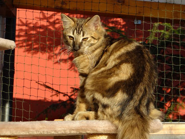 Bella von La- Lea- Lil, Norwegische Waldkatze, amber, 4,5 Monate alt