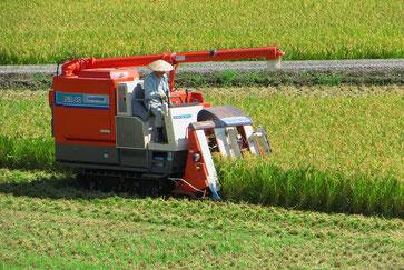 Mit kleinen Mähdreschern wird der Reis geerntet.