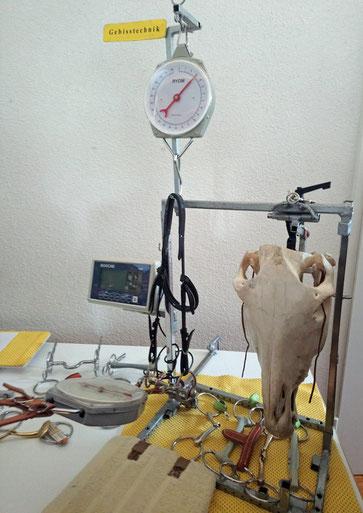 Modell zur Darstellung verschiedener Zügelhaltungen und diverser Wirkungen bei Zug (links) und Pferdeschädel, an dem die Wirkungen verschiedener Gebißarten nebst Wirkung des Nasenriemens nachvollzogen werden kann (rechts)