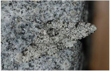 La phalène du bouleau ; Source : les taxinomes