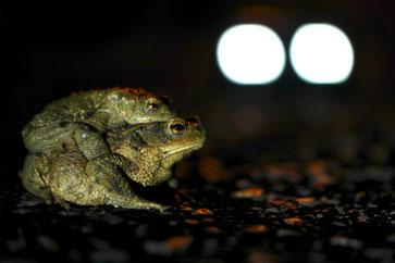 Eine männliche Erdkröte lässt sich von einem Weibchen tragen. Die Reise der beiden ist gefährlich. Foto: Roland Steinwarz