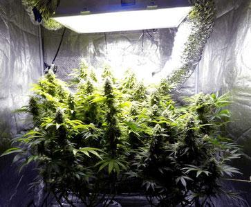 cannabis indoor anbau zyklus