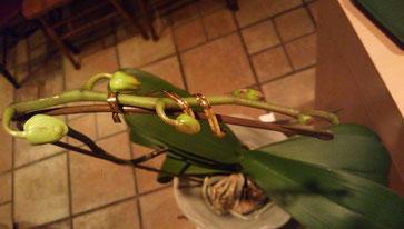 3/21に撮った胡蝶蘭です
