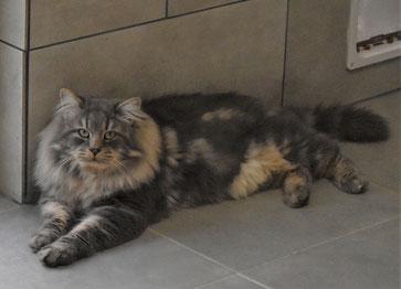 le chat sib rien une race anti allergique les sib riens de magic chamane 39 s. Black Bedroom Furniture Sets. Home Design Ideas
