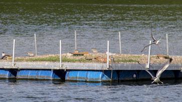 Blick auf das zweite Flussseeschwalbenfloß, wo drei Paare ihre Küken großziehen. - Foto: Kathy Büscher