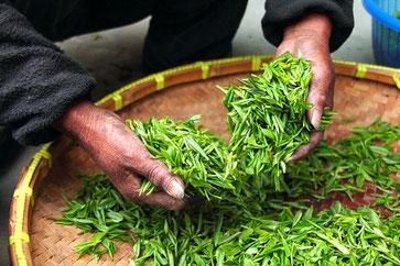 Teeblätter, fermentieren, Sortieren, Tee Herstellung,