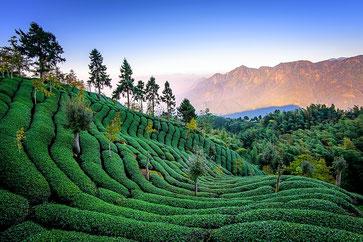Tee Anbaugebiet, Fu Tee, Plantage, Tee Anbau