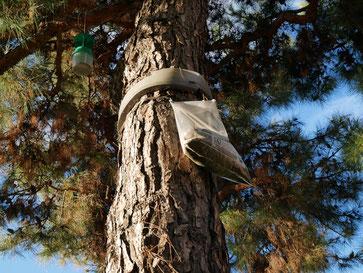Piège pour processionnaire du pin et processionnaire du chêne