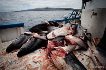 "le ""Shark Finning"" illégal  photo Sea Shepherd/ Tim Watters"