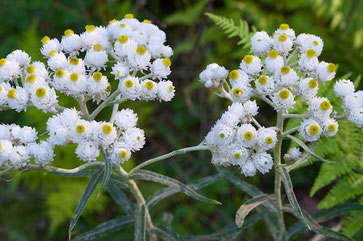 Pearly Everlasting (Anaphalis margaritacea), a perennial wildflower native to North America
