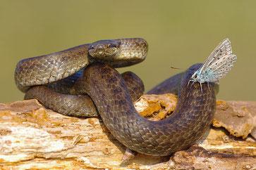 Schlingnatter Reptilien NABU Düren