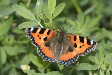 Schmetterlinge wie der Kleine Fuchs wurden in diesem Jahr seltener beobachtet. Foto: NABU/Helge May
