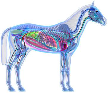 Faszien trennen Muskeln, Knoch und Organe