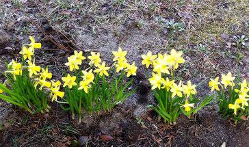 4/1今日から新年度ですね。フレッシュマンの姿多く見かけました。子供たちも来週には、入学式、始業式ですね。わくわく、ドキドキ・・・ときめきの春を楽しみたいです!庭のスイセンも応援してくれてるようです〜