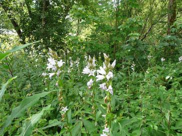 Die in den Mittelgebirgen seltene und geschützte Breitblättrige Glockenblume (Campanula latifolia) wird stark vom Indischen Springkraut (Impatiens glandulifera) verdrängt. Foto: Clemens Hackenberg