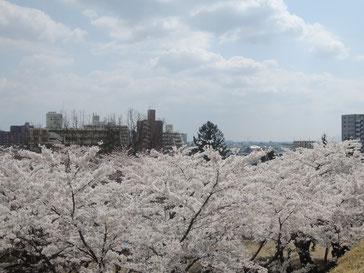 上から見下ろす桜も◎!