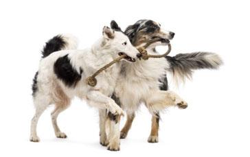 Spielende Hunde mit Seil