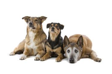 Drei liegende Hunde