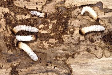 Holzwurmbekämpfung Biozida