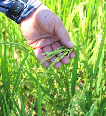7月下旬の稲穂。お盆過ぎには収穫です