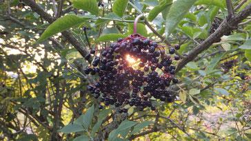 Hollunder - Kultbaum der Holle