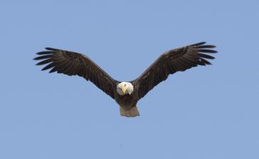 L'aigle possède la meilleure acuité visuelle du règne animal et peut voler à plus de 6000 m d'altitude. De là-haut au zénith il voit tout, sait tout. L'aigle illustre la perspicacité et la sagesse de Dieu. Il crie  3 fois MALHEUR aux habitants de la terre