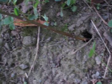 セミの穴に枝を挿す
