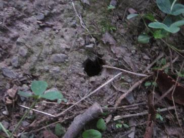 セミの幼虫の穴
