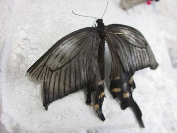 チョウの昆虫標本を作る