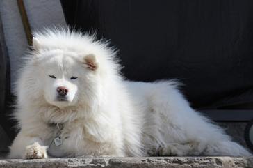 ポメラニアンの祖先犬 サモエド