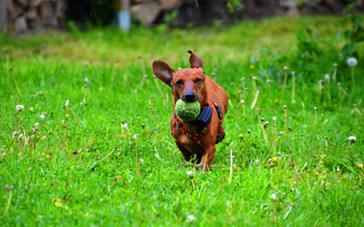 ミニチュアダックスフンドは社交性のある犬