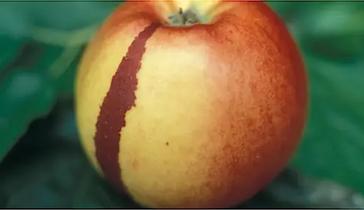 Apfel , Chimäre, Oleander Haus