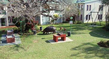 Notre voisin, l'hippo, fait sa promenade dans le jardin !