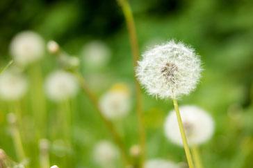 Weiße Pusteblume auf grüner Wiese