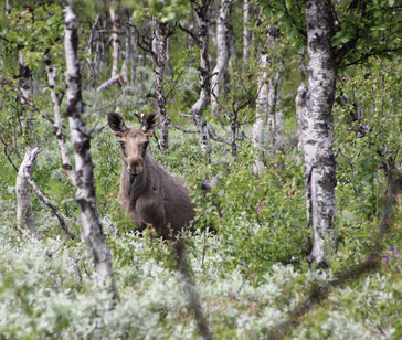 Junger Elch, Birkenwald, Schweden