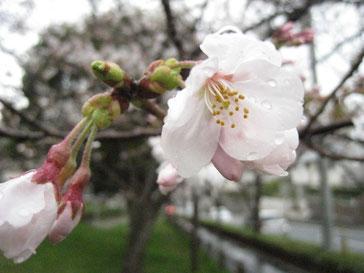 今年の開花は早いですね。長く楽しめるといいのですが。