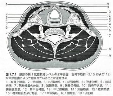 頸部の第1気管軟骨レベルの水平面