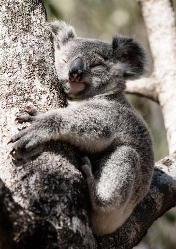 Koala bear hugging a tree in the sunshine of Magnetic Island, Australia