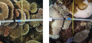 Bleaching severity within a coral community is measured along photo transects at each reef. Bleaching severity at Rib Reef (left) was recorded as 'minor' (<10% of the community bleached) and Hastings Reef (right) was recorded as 'extreme' (>60% of the com