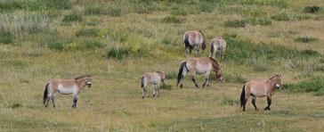 仔馬も含め10頭ぐらいのタヒの群れ