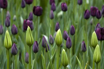 Tulpen pflanzen / Einfache späte Tulpe Tulipa 'Queen of Night'