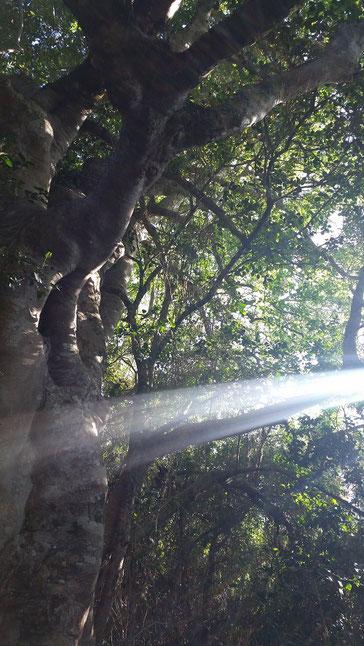 ホワイトスティンクウッドと朝の光